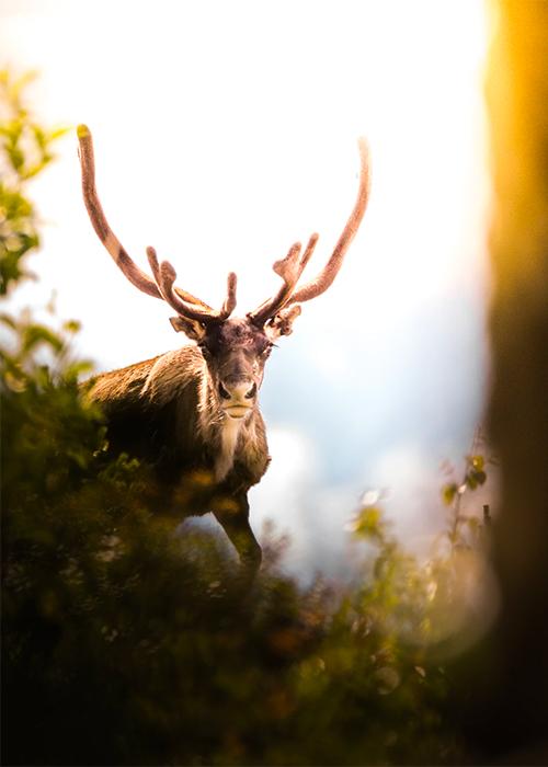 Skogsvildren